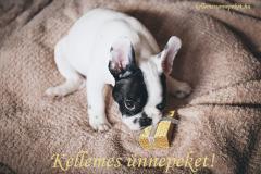 kellemes ünnepeket ajándék francia bulldog